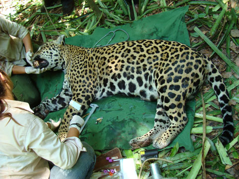 Doctors attending to a leopard