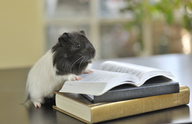Guinea pig on a book